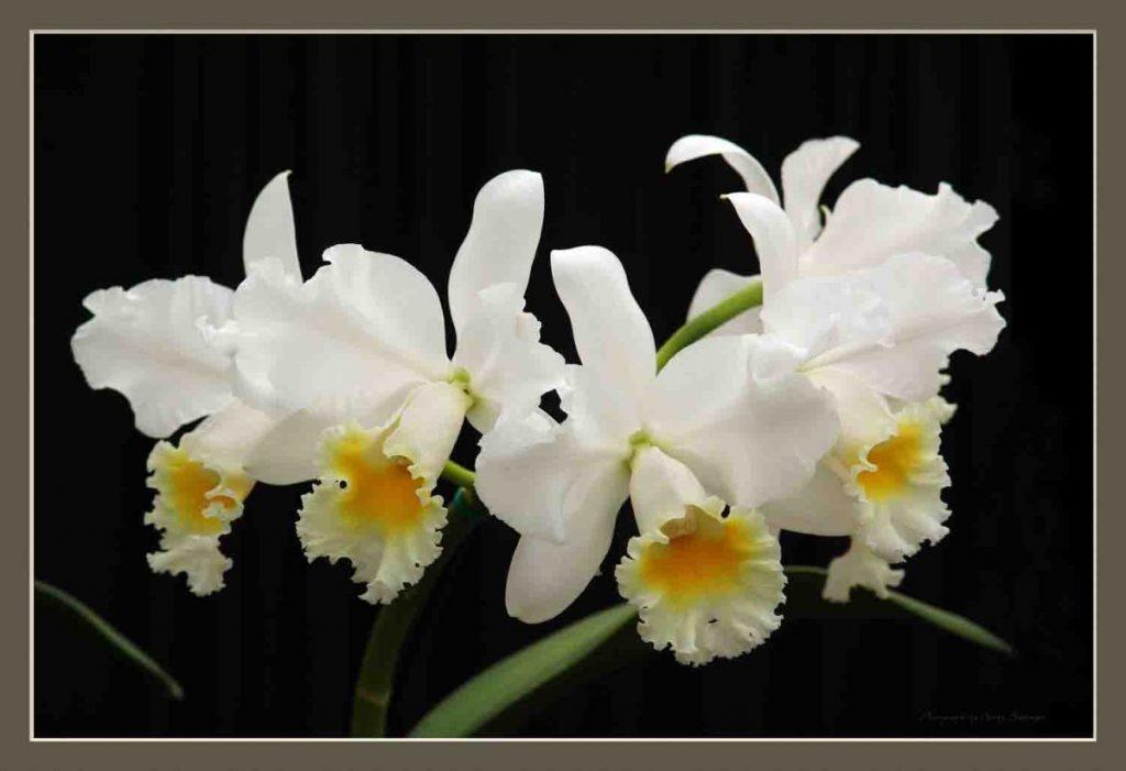 White Cattleya